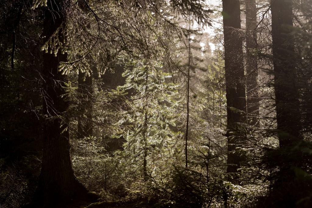 Når skoven er våd, tager den sig helt specielt ud når solen titter frem.