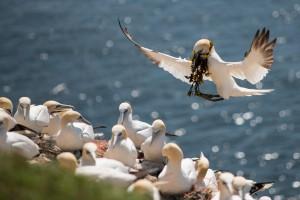Sulekoloni Helgoland